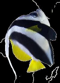 Bannerfish-bikini-design.png