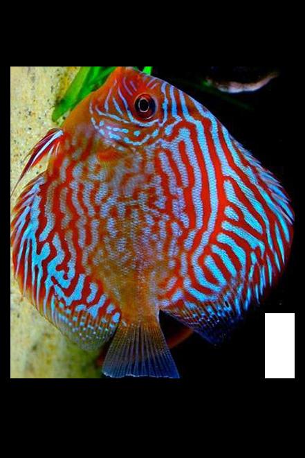 Blu Discus Fish.png